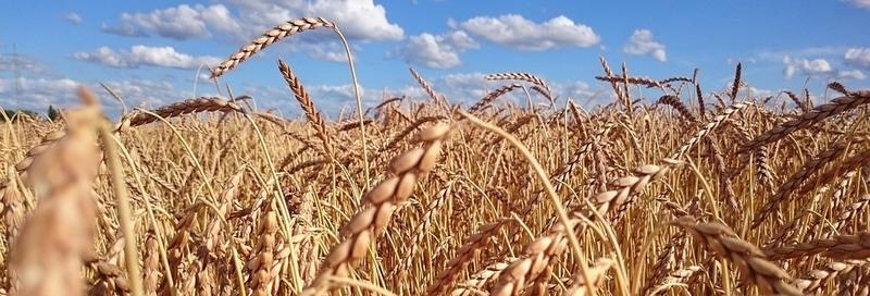 ... фуражную пшеницу. На качество урожая, определяющееся зараженностью  вредными насекомыми, количеством битых и поврежденных зерен и сорной  примеси, ... 117c3229be2